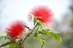 Rote Hauptpuderquaste Blume Stockfotos