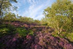 Rote Heide auf dem Derbyshire macht nahe Sheffield fest Stockfotos
