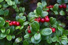 Rote Heidelbeere Lizenzfreies Stockfoto