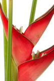 Rote heliconia Blume Lizenzfreie Stockfotografie