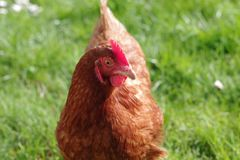 Rote Henne, die auf einem Gebiet an einem sonnigen Tag einpfählt stockfoto