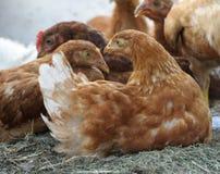 Rote Hennen, Hühner auf einem Bauernhof Lizenzfreie Stockbilder