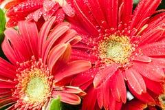 Rote herberas mit Wassertropfen Lizenzfreies Stockfoto