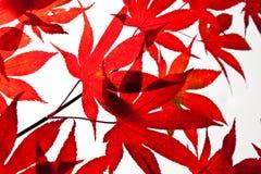 Rote Herbst-Blätter Stockfoto