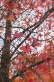 Rote Herbst-Blätter Stockbilder