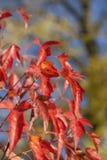 Rote Herbst-Blätter Lizenzfreie Stockfotos