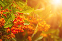 Rote Herbstbeeren lizenzfreies stockbild