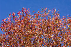 Rote Herbstblätter. Stockbild