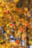 Rote Herbstniederlassung Lizenzfreies Stockfoto