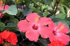Rote Hibiscus-Blumen-Blüte Stockbild
