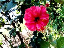 Rote Hibiscusblume stockbild