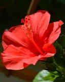 Rote Hibiscusblume Stockbilder