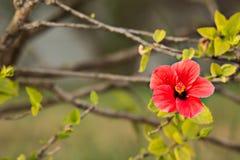 Rote Hibiscusblume Lizenzfreie Stockfotografie