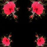 Rote Hibiscusblume Stockfotos