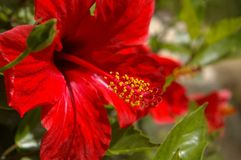 Rote Hibiscusblume lizenzfreie stockfotos
