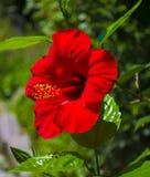 Rote Hibiscusblume auf einem grünen Hintergrund Lizenzfreie Stockbilder