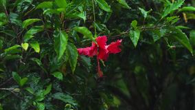 Rote Hibiscusblume unter Regen stock video footage