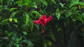 Rote Hibiscusblume unter Regen stock video