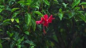 Rote Hibiscusblume unter Regen stock footage