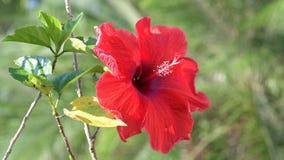 Rote Hibiscusblumen auf Baum stock footage