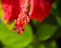 Rote Hibiscusblumen in der Blüte Stockfotografie