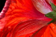 Rote Hibiscusblumen der Blumenblätter stockfoto
