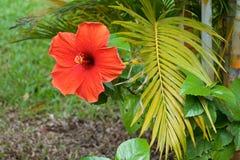 Rote Hibiscusblumen- und -palmenniederlassung stockfoto
