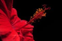 Rote Hibiscuse blühen auf schwarzem Hintergrund Lizenzfreie Stockfotografie