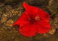 Rote Hibiscuse blühen in den Wasserhintergrundmuscheln lizenzfreies stockbild