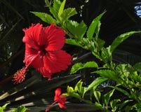Rote Hibiscusrosa--sinensisblume Stockfotografie