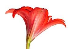 Rote Hippeastrum-Blume Knospennahaufnahme lokalisiert auf weißer Oberfläche Lizenzfreies Stockfoto