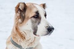 Rote Hundeuhren Stockfotografie