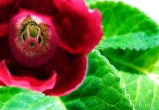 Rote Innenblume mit grünen Blättern Lizenzfreies Stockbild