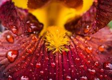 Rote Irisblume, die im Garten blüht Lizenzfreie Stockfotos