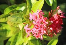 Rote Ixora-Blume stockbild