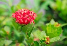 Rote ixora Blume im grünen Hintergrund Lizenzfreies Stockbild