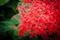 Rote ixora Blumen Lizenzfreies Stockfoto