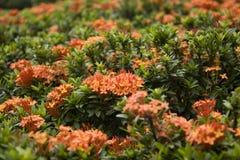 Rote ixora Blumen Stockfotografie