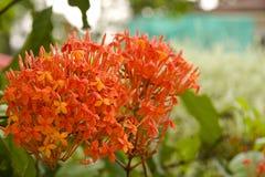 Rote ixora Blumen Lizenzfreies Stockbild