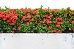 Rote Ixora coccinea Anlagen oder Dschungel-Pelargonie, Lizenzfreies Stockbild