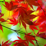 Rote japanische Ahornblätter Stockbild