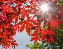 Rote japanische Ahornblätter gegen blauen Himmel Lizenzfreie Stockfotografie