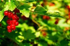 Rote Johannisbeerbeeren 3 (Ribes Rubrum) Lizenzfreie Stockbilder