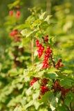 Rote Johannisbeerbeeren auf einem Busch Stockbild