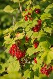 Rote Johannisbeerbeeren auf einem Busch Lizenzfreie Stockfotos