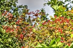 Rote Johannisbeerbusch Stockbild