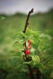 Rote Johannisbeerbusch Stockfotografie