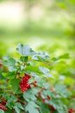 Rote Johannisbeerbusch im Biohof Stockfotos
