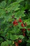 Rote Johannisbeerbusch mit Beeren lizenzfreie stockbilder