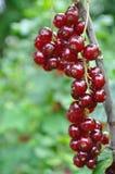 Rote Johannisbeere Stockfotografie